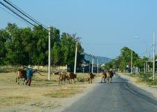 Vacas que van en el camino del campo en Khanh Hoa, Vietnam Foto de archivo