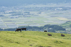 Vacas relajantes en pasto Foto de archivo libre de regalías