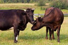 Vacas rojas y negras Foto de archivo libre de regalías
