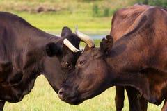 Vacas rojas y negras Fotos de archivo