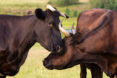 Vacas rojas y negras Imágenes de archivo libres de regalías
