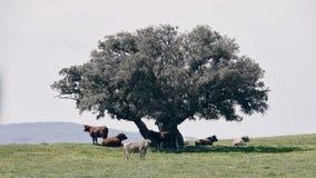 Vacas rumiando pastando. Tranquilidad, sosiego y paz a la sombra Stock Images