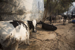 Vacas sagradas nas ruas de Varanasi Imagem de Stock Royalty Free