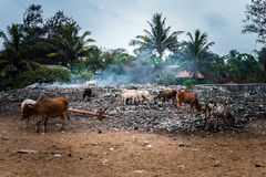 Vacas santamente que alimentam no desperdício no lixo na Índia Fotos de Stock Royalty Free