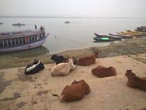 Vacas santas de Varanasi Imagen de archivo