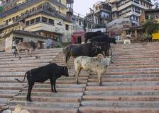 Vacas santas en ghats santos imagen de archivo libre de regalías