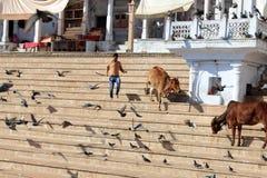 Vacas santas rodeadas por las palomas Imagenes de archivo