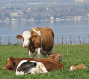 Vacas satisfeitas Fotografia de Stock Royalty Free