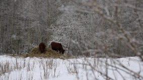 Vacas sob a neve video estoque
