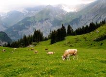 Vacas suíças nos alpes fotografia de stock royalty free