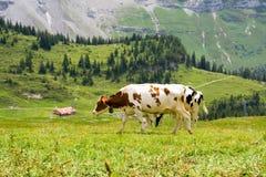Vacas suizas Foto de archivo libre de regalías