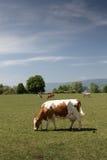 Vacas suizas hacia fuera al pasto Fotografía de archivo libre de regalías