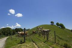 Vacas suizas imagen de archivo