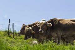 Vacas suizas fotos de archivo