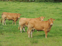 Vacas superiores de Limousin da classe Fotografia de Stock Royalty Free