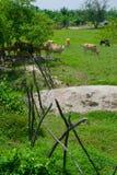 Vacas tailandesas Foto de archivo libre de regalías