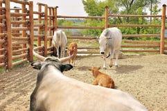 Vacas, toro y becerros Imagen de archivo