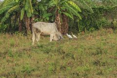 Vacas, vale fértil do kawatuna com animais da forragem fotografia de stock royalty free