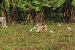 Vacas, vale fértil do kawatuna com animais da forragem imagem de stock