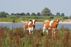 Vacas vermelhas Imagem de Stock Royalty Free
