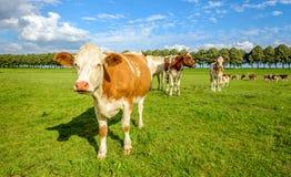 Vacas vermelhas e brancas em um prado verde no verão Fotos de Stock