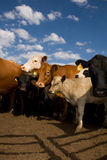 Vacas vigilantes foto de archivo libre de regalías