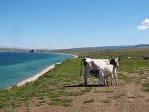 Vacas y becerro Fotografía de archivo libre de regalías