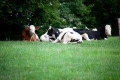 Vacas y becerro del bebé en el pasto y el funcionamiento del prado libremente Imagen de archivo
