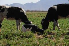 Vacas y becerro que miran Fotos de archivo libres de regalías