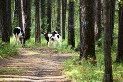 Vacas y becerros Fotografía de archivo libre de regalías