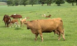 Vacas y becerros Imágenes de archivo libres de regalías