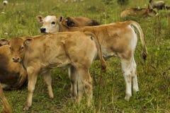 Vacas y becerros en el pasto Fotografía de archivo