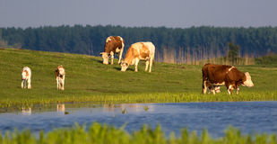 Vacas y becerros en prado floral Foto de archivo