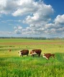 Vacas y becerros en un campo Imágenes de archivo libres de regalías