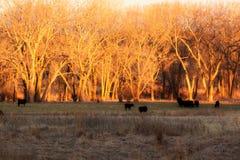 Vacas y becerros que pastan en la madrugada fotografía de archivo