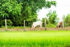 Vacas y campos Fotografía de archivo libre de regalías