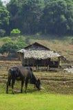 Vacas y choza del granjero en Mae Klang Luang fotografía de archivo