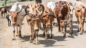 Vacas y ganado en el valle de Omo de Etiopía imagen de archivo libre de regalías