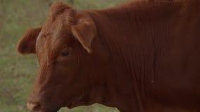 Vacas y ganado en un cierre de la granja encima del tiro