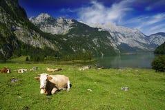 Vacas y Koenigssee imágenes de archivo libres de regalías