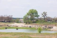 Vacas y lago Imagenes de archivo