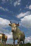 Vacas y nubes Foto de archivo libre de regalías
