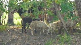 Vacas y ovejas en día caliente en la sombra de árboles metrajes