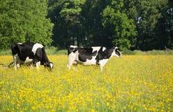 Vacas y ranúnculos foto de archivo