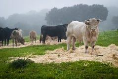 Vacas y toros Foto de archivo libre de regalías