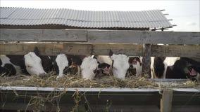 Vacas y toros en plumas en un d?a soleado imagen de archivo libre de regalías