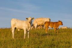 Vacas y un becerro Imagen de archivo libre de regalías