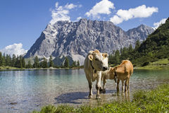 vacas y Zugspitze Fotografía de archivo
