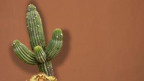 Giant Desert Cactus Shadow