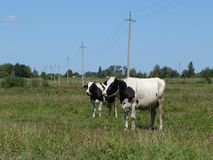 Best sister cows, cows in the meadow. Vacationers cows in the meadow, cows talk, Rural landscape royalty free stock photo